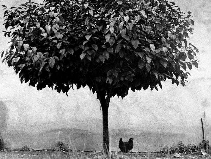 Edouard Boubat, l'arbre ou la poule